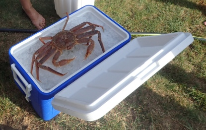 Snow crab cleaning about to,commence