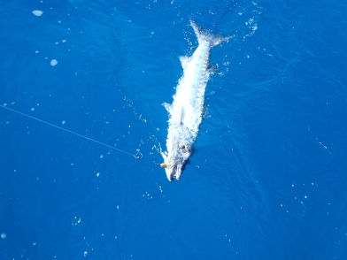 Barracuda......too big to eat because of ciguatera