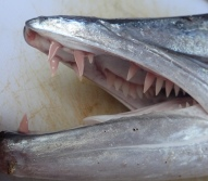 Barracuda teeth