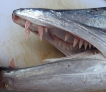 Barracuda teeth