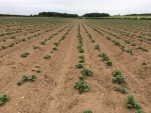 Spuds in rows