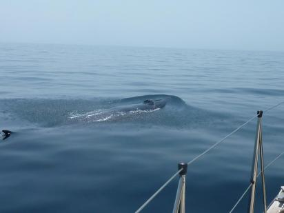 Bryde's whale 3
