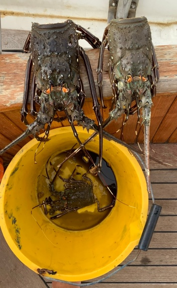 Tail-less crayfish